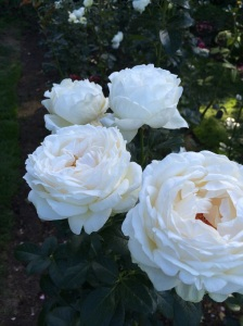 Giant white roses