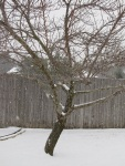Here's the peach tree, very sensibly NOT budding during a recent snowfall.