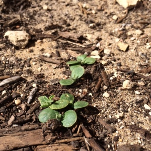 bluebonnet-sprout
