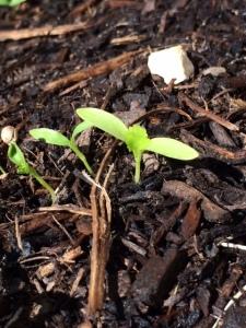 cilantro-sprout