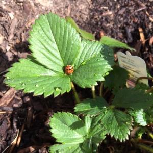 strawberry-w-ladybug
